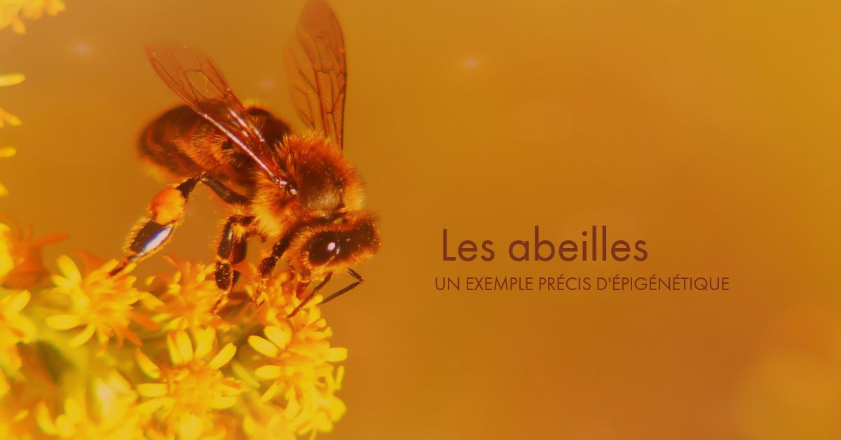 Les abeilles - exemple d'épigénétique